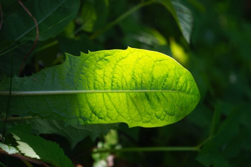 kiaulpienė,lapai,žalias,švyti per,žaliųjų atspalvių,šviesa,šviesiai žalia,tamsiai žalia,šviesiai žalia,šviesus