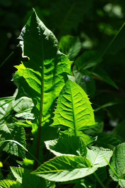 kiaulpienė,lapai,žalias,švyti per,žaliųjų atspalvių,šviesa,šviesiai žalia,tamsiai žalia,šviesiai žalia,šviesus,piktžolių,laukinis augimas