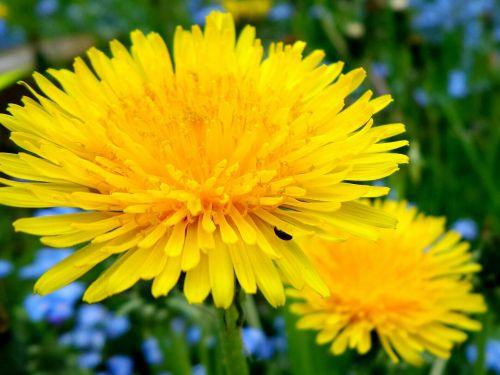 kiaulpienė, gėlė, vasara, geltona, augalas, pavasaris, gamta, aštraus gėlė, pavasario gėlė, geltona gėlė, vasaros pieva