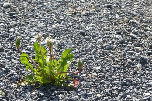 kiaulpienė,žvyro kelias,gamta,gėlė,žydėti,durchsetzungsvermuegen,ištiesti,jėga,jėga,Maverick
