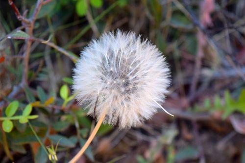 kiaulpienė, sėklos, gėlė, augalas, pavasaris, gamta, Uždaryti, skraidančios sėklos