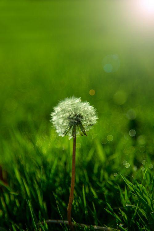 kiaulpienė, žolė, gamta, natūralus, oras, saulė, saulės šviesa, žalias, parkas, sezonai, vasara, pavasaris, ruduo, kiaulpienis ant žolės