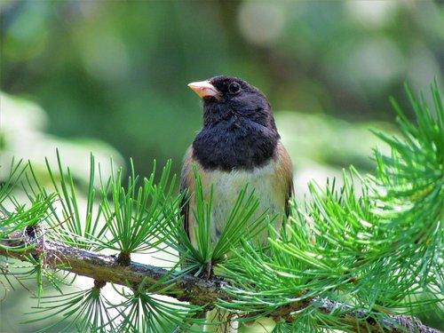 tamsiai akimis Junco, Jūs galite prisidėti, paukštis, tamsiai akimis, medis, filialas, adatos, pobūdį, vasara