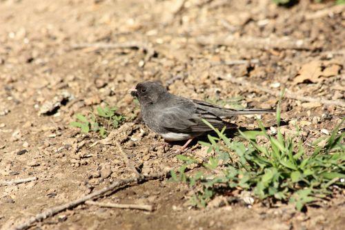 gamta, laukinė gamta, gyvūnai, paukščiai, junco, tamsiosios akys, pilka, pilka, pilka & nbsp, paukštis, maitinimas, žemė, žolė, purvas, sėklos, saulėgrąžų & nbsp, sėklos, pilka & nbsp, plunksnų, tamsiai eyed junco ant žemės
