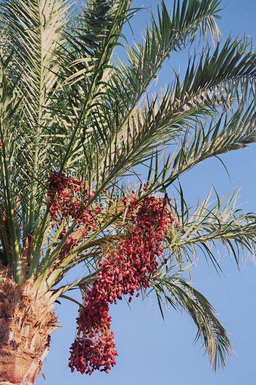 dienos palmių,phoenix,delno gentis,lankstinukai,datas,vaisiai,phoenix dactylifera,nuskaityti