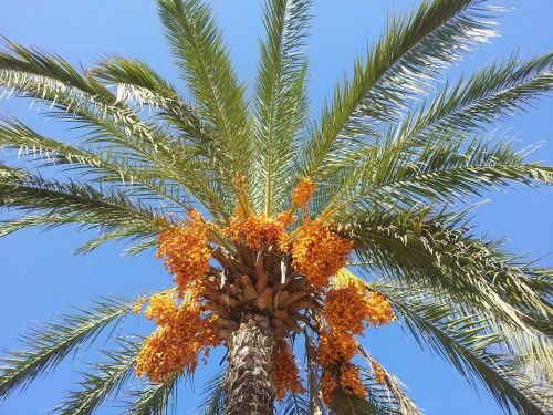 dienos palmių,delnas,datas,Phoenix palmių,dangus,oranžinė,mėlynas