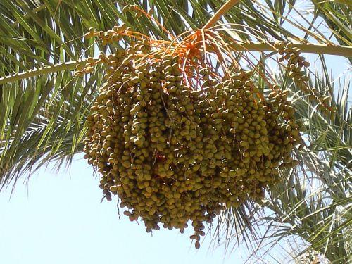datas,vaisiai,dienos palmių,vaisiai,pasėlių,delnas,subtropinis,palmių vaisiai,atogrąžų