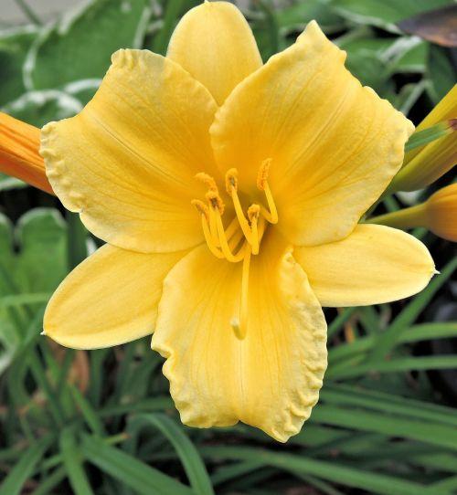 dienos lapinės gėlės,sodas,vasara,žydi