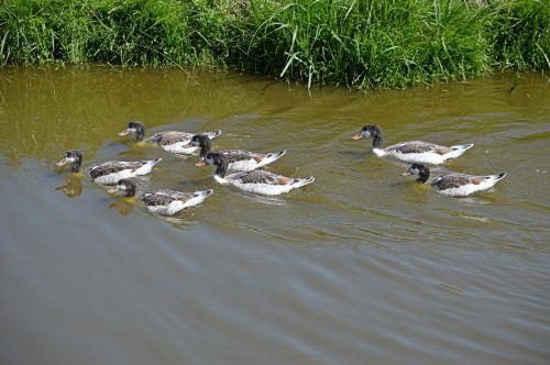 galas, vandens paukščiai, gamta, gyvūnas, vanduo, griovys, grupė, grupė
