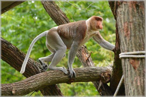 proboscis & nbsp, beždžionė, beždžionė, retas, apenheul, holland, beždžionė beždžionė 5