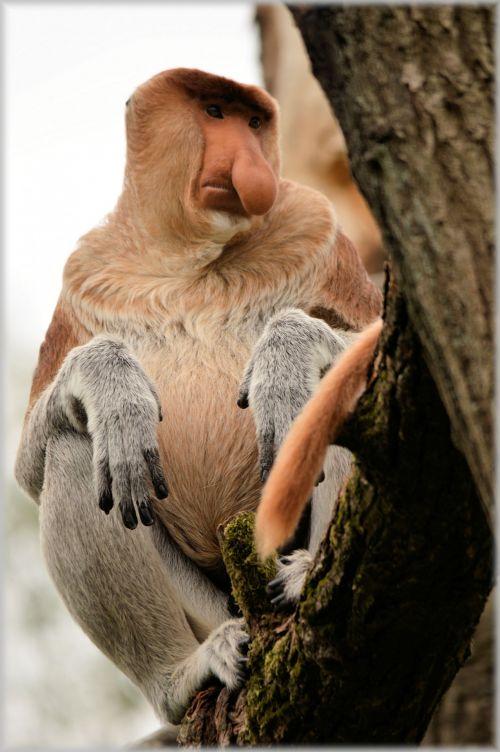 proboscis & nbsp, beždžionė, beždžionė, retas, apenheul, holland, krūtinės beždžionė 6