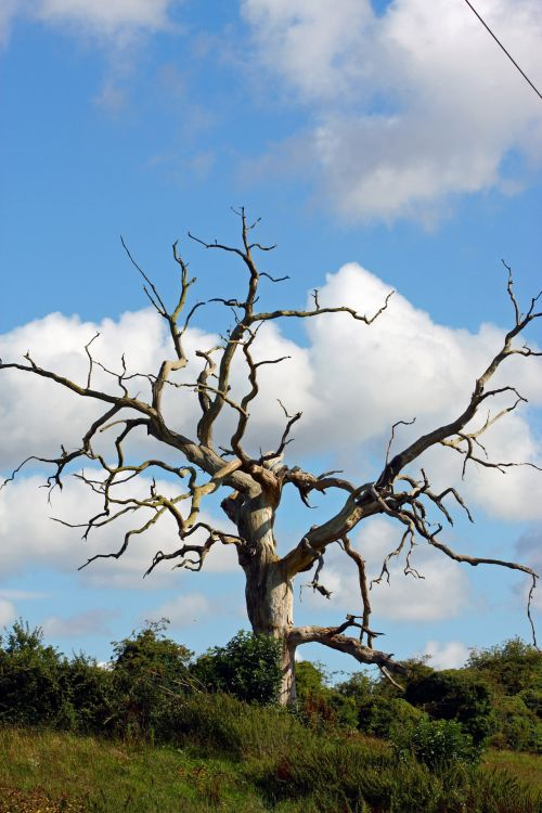 medis, vienas, vienas, miręs, miręs & nbsp, medis, mėlynas, dangus, debesys, gamta, lauke, nuotrauka, vaizdas, miręs medis