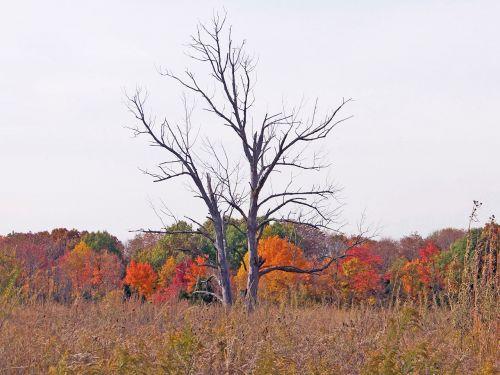 miręs, medžiai, laukas, gamta, ruduo, kritimas, lapai, piktžolės, mirę medžiai rudens lauke