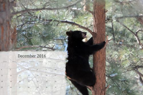 2016 & nbsp, kalendorius, kalendorius, kas mėnesį, 2016, turėti, juodas & nbsp, lokys, gruodžio mėn ., gruodžio 2016 m. medis, pušis & nbsp, medis, gyvūnas, žiema, sniegas, kalendoriai, kalendorius, kalendoriai, 2016 m. gruodžio mėn. kalendorius su loku