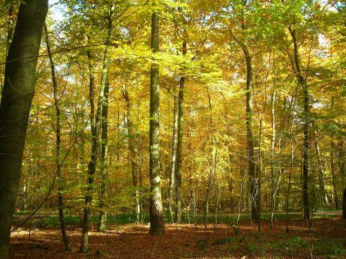 lapuočių miškas,miškas,auksinis,Spalio mėn,ruduo,šviesus,geltona,vabalas slėnio miškas