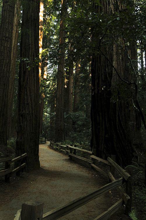 muiras & nbsp, miškai, miškai, miškas, vaikščioti, vaikščioti, žygis, žygiai, takas, purvas, aukštas, sodrus, lauke, taikus, kontempliatyvas, įkvepiantis, ramus, giliai miškai vaikščioti
