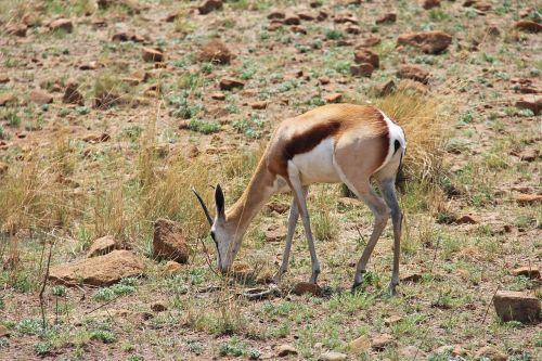 elnias,įdomus,nuotykis,safari,vaizdingas,gražus,įdomus,saulės miestas,Pilanesbergo žaidimų rezervas,Johanesburgas,pietų Afrika