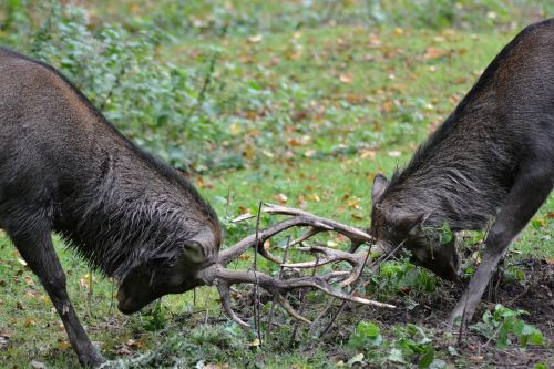 elnias,sika elnias,kovoti,revive fight,laukiniai,Uždaryti,miškas,raudonas elnias,antler