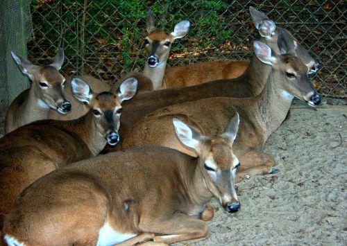 elnias,whitetail,poilsio,sutramdyti,bandas,laukinė gamta,žinduolis,lauke,kanopas,Doe,gyvūnai,žolėdžius