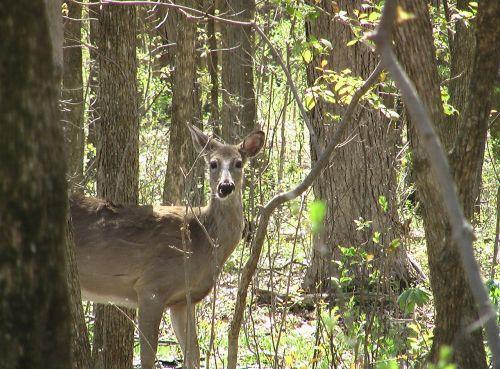 elnias,whitetailed,miškas,žiūri,budrus,laukinė gamta,žinduolis,gyvūnas,kanopas,baltaodžiai,balta uodega