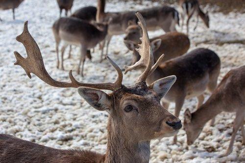 Deer Park, Hirsch, Tika, stirnos