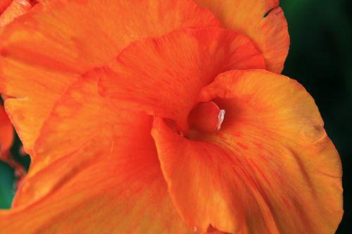 gėlė, kana, oranžinė, šviesus, subtilus, subtilus kanas