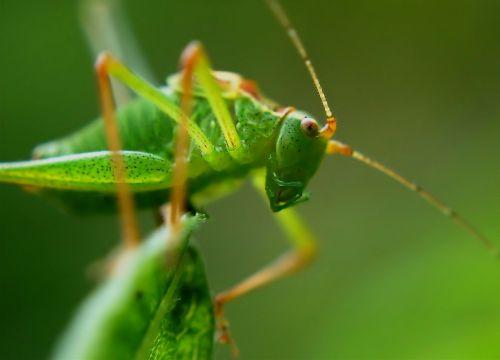 subtilus vabalas,žiogas,vabzdys,dotted,žalias,makro,subtilus subtilus vabalas,leptophyes punctatissima,lapų vabzdžiai,tettigoniidae,ilgas zondas susitraukia,ensifera,leptophyes,Iš arti,Uždaryti,praleisti,zondas,pėdos