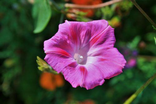 gėlė, ryto & nbsp, šlovės, rožinis, subtilus, subtilus rožinė rytinė šlovė