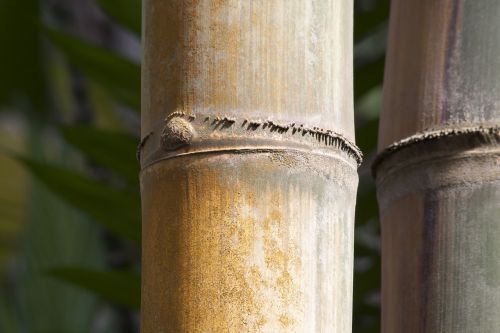 dendrocalamus giganteus,bambukas,milžinas bambukas,grubus milžinas bambukas,dendrocalamus aper,mianmaras,Indija,Kinija,gelsvai žalia,augalas,flora