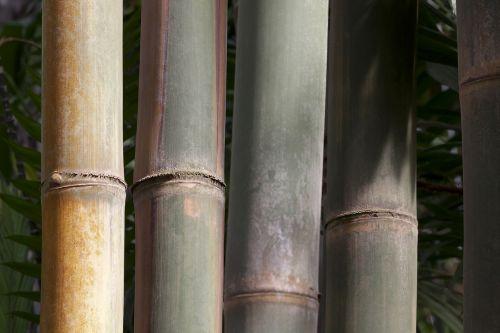 dendrocalamus giganteus,bambukas,milžinas bambukas,grubus milžinas bambukas,dendrocalamus aper,mianmaras,Indija,Kinija,gelsvai žalia,augalas,flora,fondas,fonas