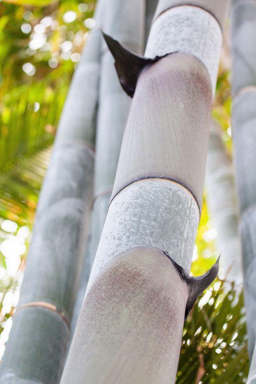 dendrocalamus giganteus,bambukas,milžinas bambukas,grubus milžinas bambukas,dendrocalamus aper,mianmaras,Indija,Kinija,augalas,flora