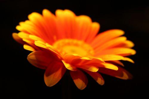 lauko gylis,oranžinė,gėlė