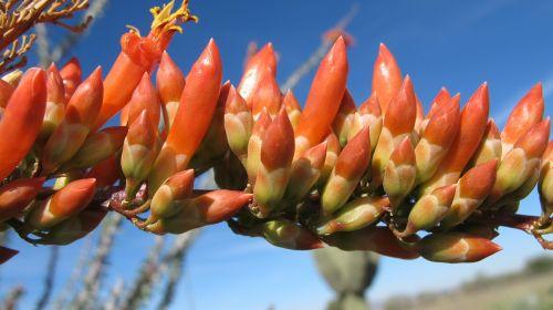 dykuma žydi,ocotillo,gamta,tucson,Arizona,Sonoran dykuma,chihuahuano dykuma