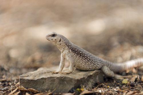 dykumos iguana,makro,laukinė gamta,gamta,portretas,Rokas,žiūri,driežas,ropliai
