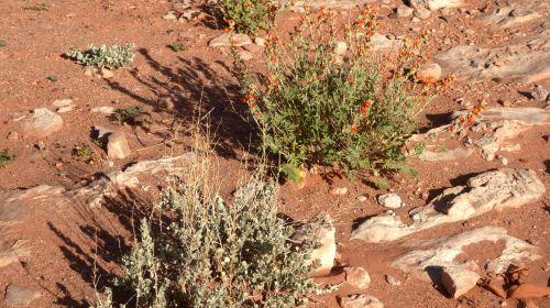 šepetys, dykuma, raudona & nbsp, dirvožemio, dirvožemis, augalai, gamta, lauke, augalas, Arizona, raudona, dykumos dirvožemis