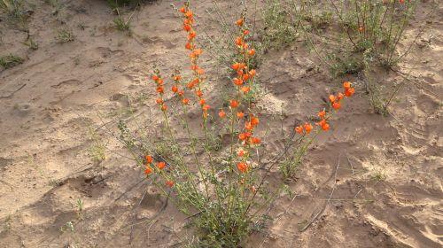 Dykuma,  Gėlė,  Gėlės,  Oranžinė,  Žydi,  Gamta,  Dykuma Laukinės Spalvos