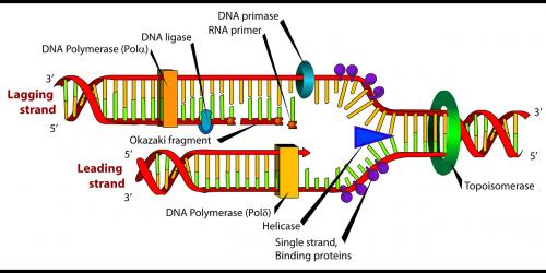 diagrama,dna,biologija,paženklinta etikete,replikacija,etiketė,nemokama vektorinė grafika