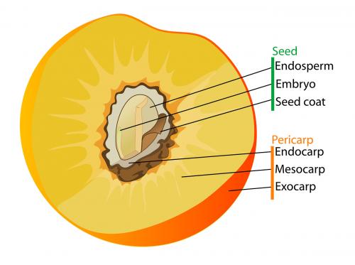 diagrama,vaisiai,paženklinta etikete,paženklinta etikete,analizuoti,persikas,biologija,mokslas,nemokama vektorinė grafika