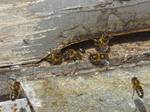 sauskelnės,bitės,įvestis,medus