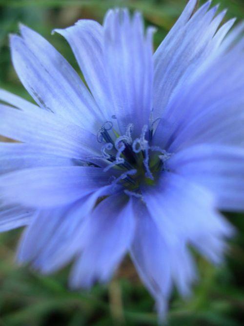 gamta, botanika, gėlė, žiedas, žiedadulkės, augalas, žalias, mėlynas, tamsi, mėlyna gėlė