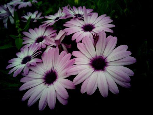 dimorfoteka,kalnų daisy,gėlės,rosa,balta spalva