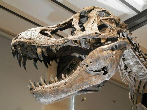 dinozauras,skeletas,skeleto dinozauras,kaukolė,mėsėdis,mirtis,galva,kaulai,dantys,kaulas,muziejus,mėsėdis dinozaurai,lavonas,osios dinozauras,paruošimas,rekonstrukcijos dinozauras,liejimas,liejimo kaulai,dinozaurą,t-rex,muziejus Belgija,Belgija,dinozaur belgium,dinozaurai dantys,Orbita,kalba,žandikaulis,aistra,nosis,pagirios,fortas,galingas,galia,baimė