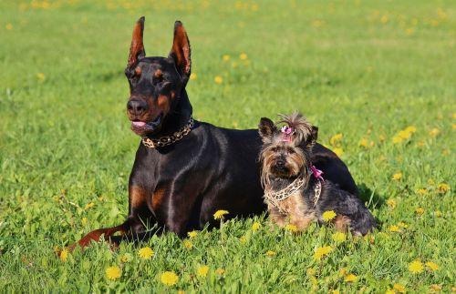 Dobermanas,Jorkšyro terjeras,šunys,laukas,Draugystė