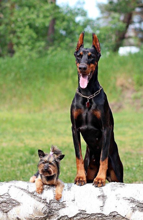 Doberman, Jorkšyro terjeras, šunys, Draugystė