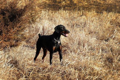 Dobermanas,Pinčeris,šuo,vidaus,naminis gyvūnėlis,atidus,paklusnus,šunys,laukas,žiūri,jaunas,lauke