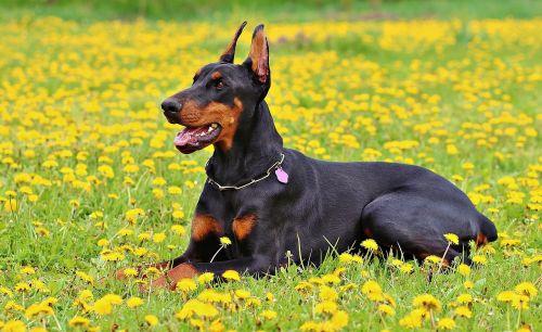 Dobermanas,šuo,gamta