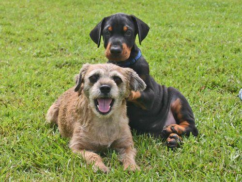 šuo, šuniukas, Dobermanas, naminis gyvūnėlis, gyvūnas, kūdikis, Dobermanas ir draugas