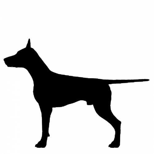 juoda, siluetas, šuo, Dobermanas, uodega, izoliuotas, veislė, vokiečių, kilmė, sargas piktograma, kontūrai, figūra, stovintis, kailis, balta, fonas, naminis gyvūnėlis, Dobermanas