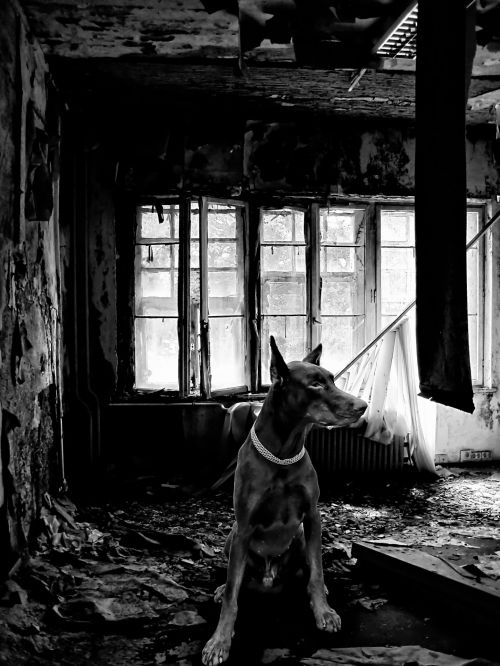 šuo, Dobermanas, erdvė, prarado & nbsp, vietą, palikti, Dobermanas