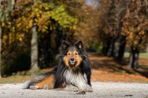 šuo,sheltie,melas,medžio pamušalas